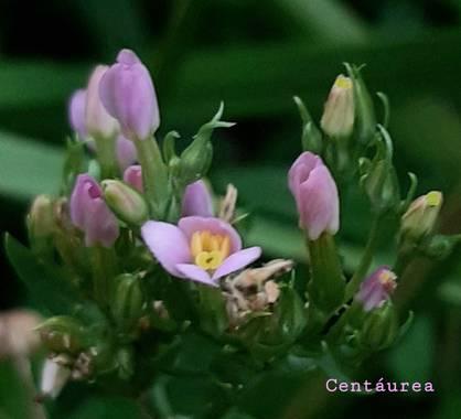 Mpinfante en Hamelin: Plantas  medicinales - Proyecto  (La Coruña)