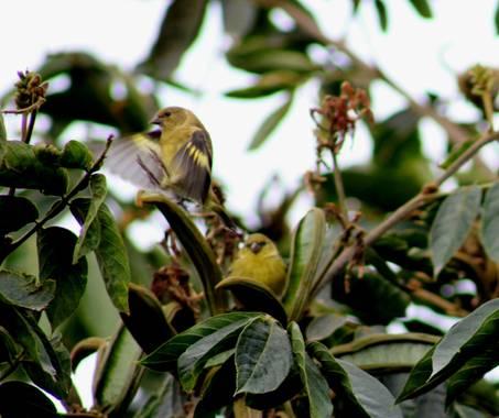Franciss RNR  en Hamelin: Aves de Sudamérica  - Proyecto  (Pablo Sexto)