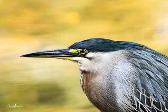 sinisterra2009 en Hamelin: Aves de Colombia  - Proyecto  (Palmira)