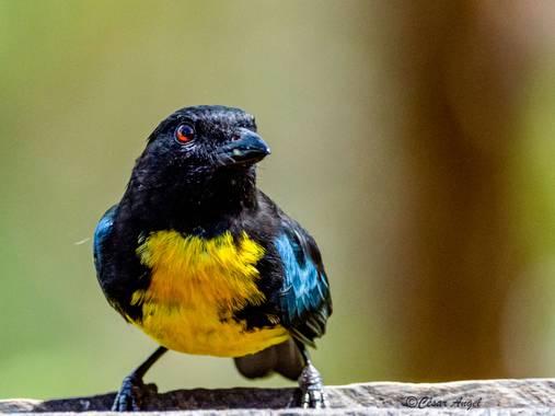 cesar.angel en Hamelin: Aves de Colombia - Proyecto  (Pereira)