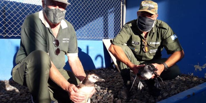 Picture principal - Seis pingüinos fueron rescatados y trasladados a la Estación de Rescate Fauna Marina