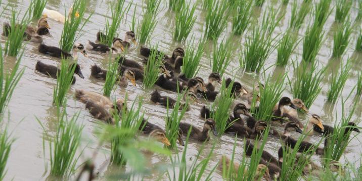 video-viral-miles-patos-son-liberados-combatir-plagas-del-arroz