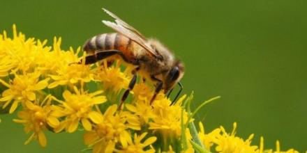 perdida-abejas-pone-peligro-ecosistemas-latinoamericanos