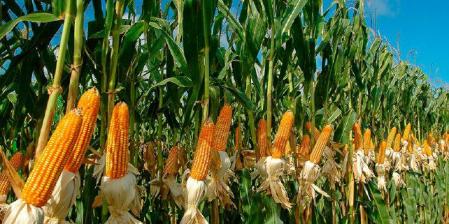 Picture principal - El problema del maíz