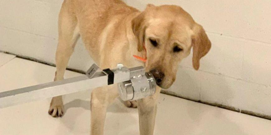 perros-detectores-coronavirus