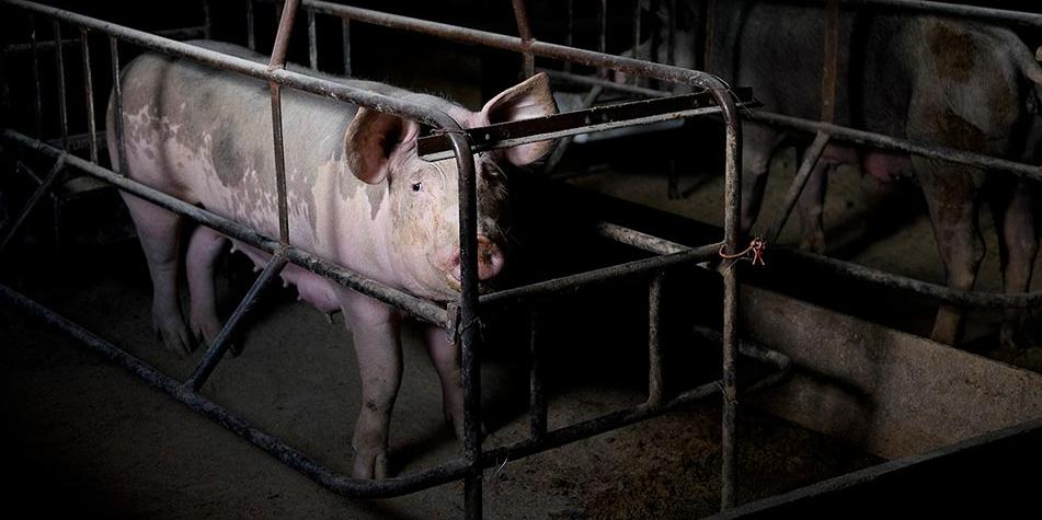 Picture principal - Un documental expone el maltrato que sufren los cerdos en las producciones intensivas