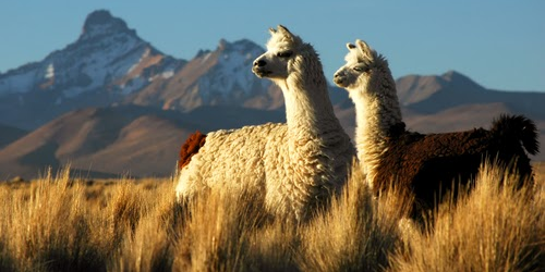 la-alpaca-poderosa-aliada-contra-pandemia