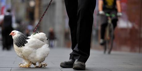 la-pandemia-hace-gallinas-creciente-moda