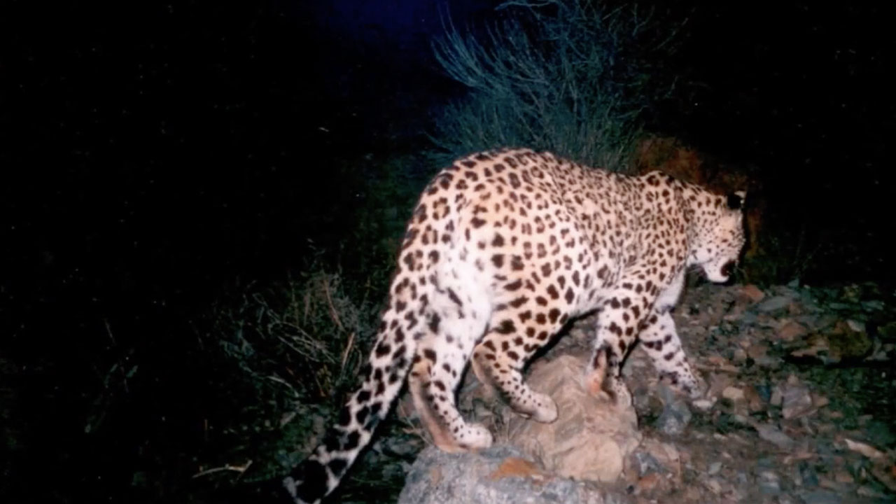 In Search of Persian Leopard