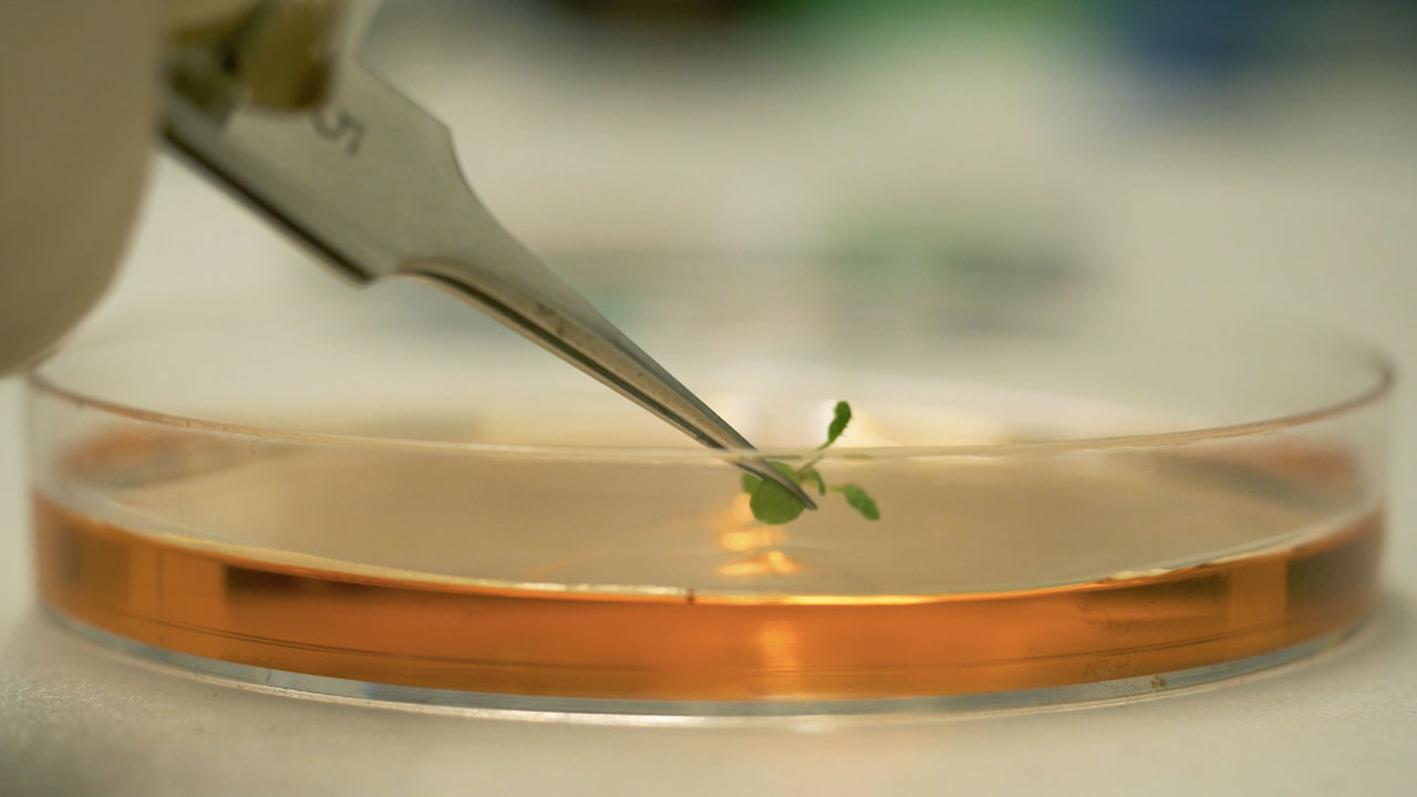 Arabidopsis thaliana: Root cutting and Staining