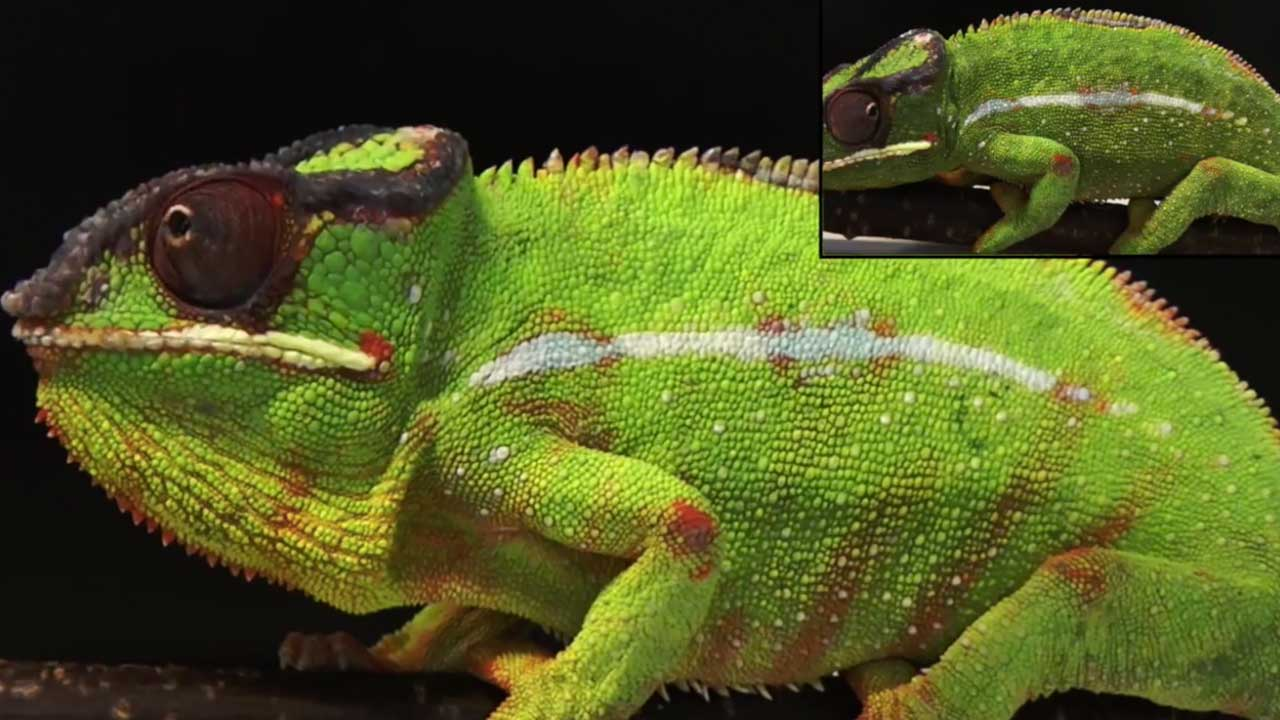 Chameleon colour change (Suppl Movie S3)