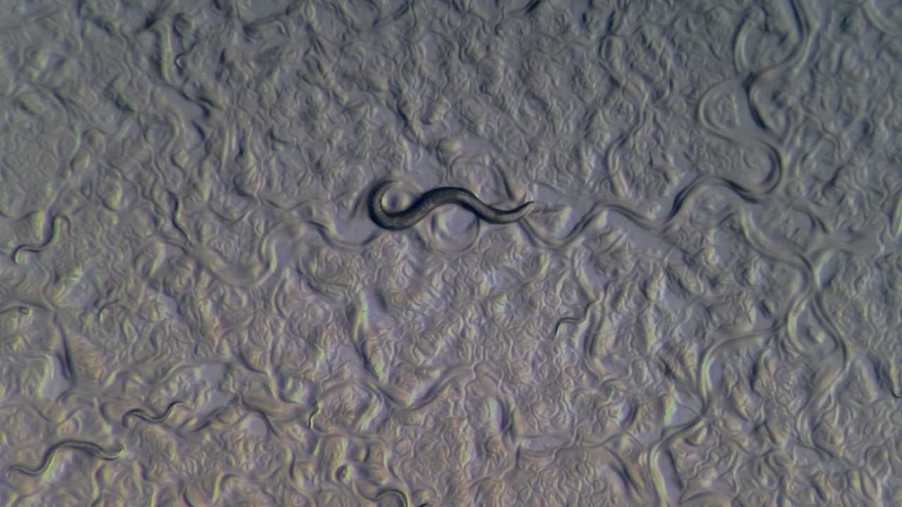 The Earth Dwelling nematode worm Caenorhabditis elegans.