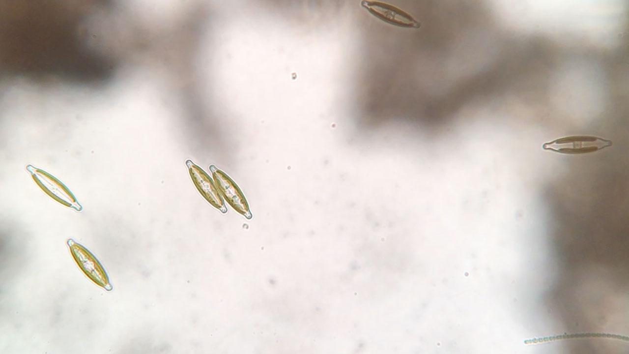 Navicula Diatom Time Lapse