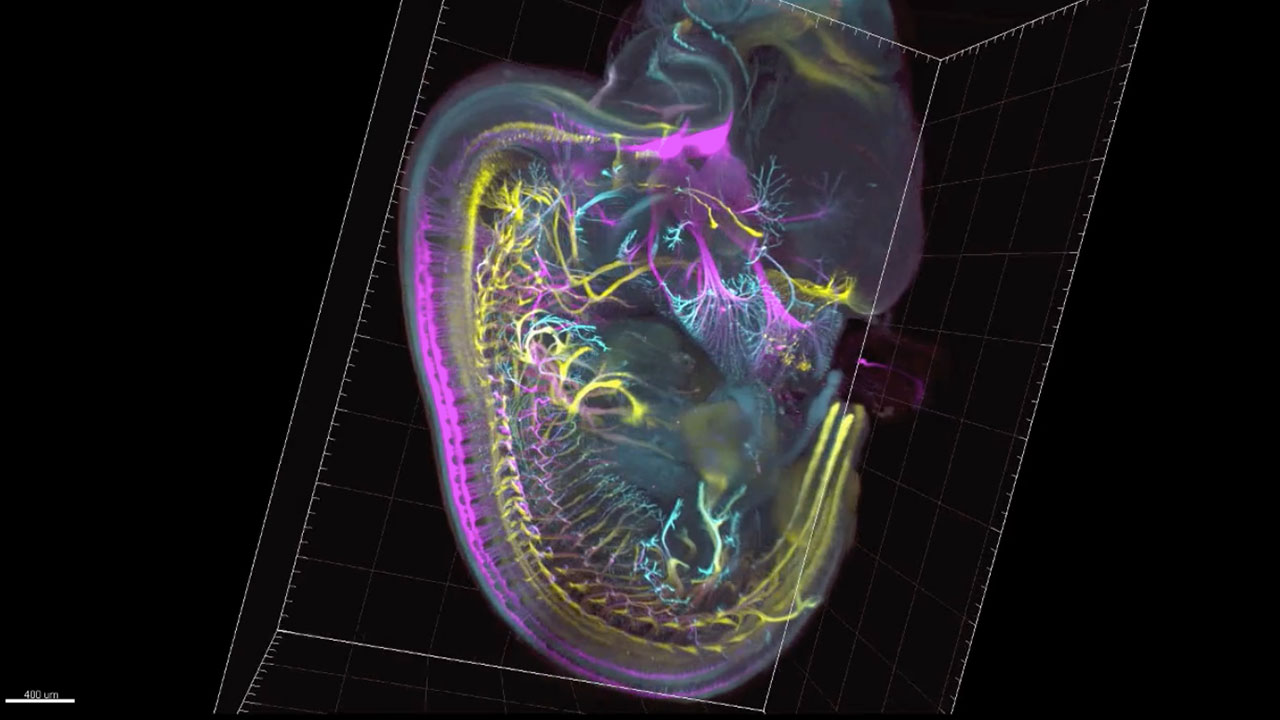 Sensory and motor nerves of the mouse embryo at 12.5 days