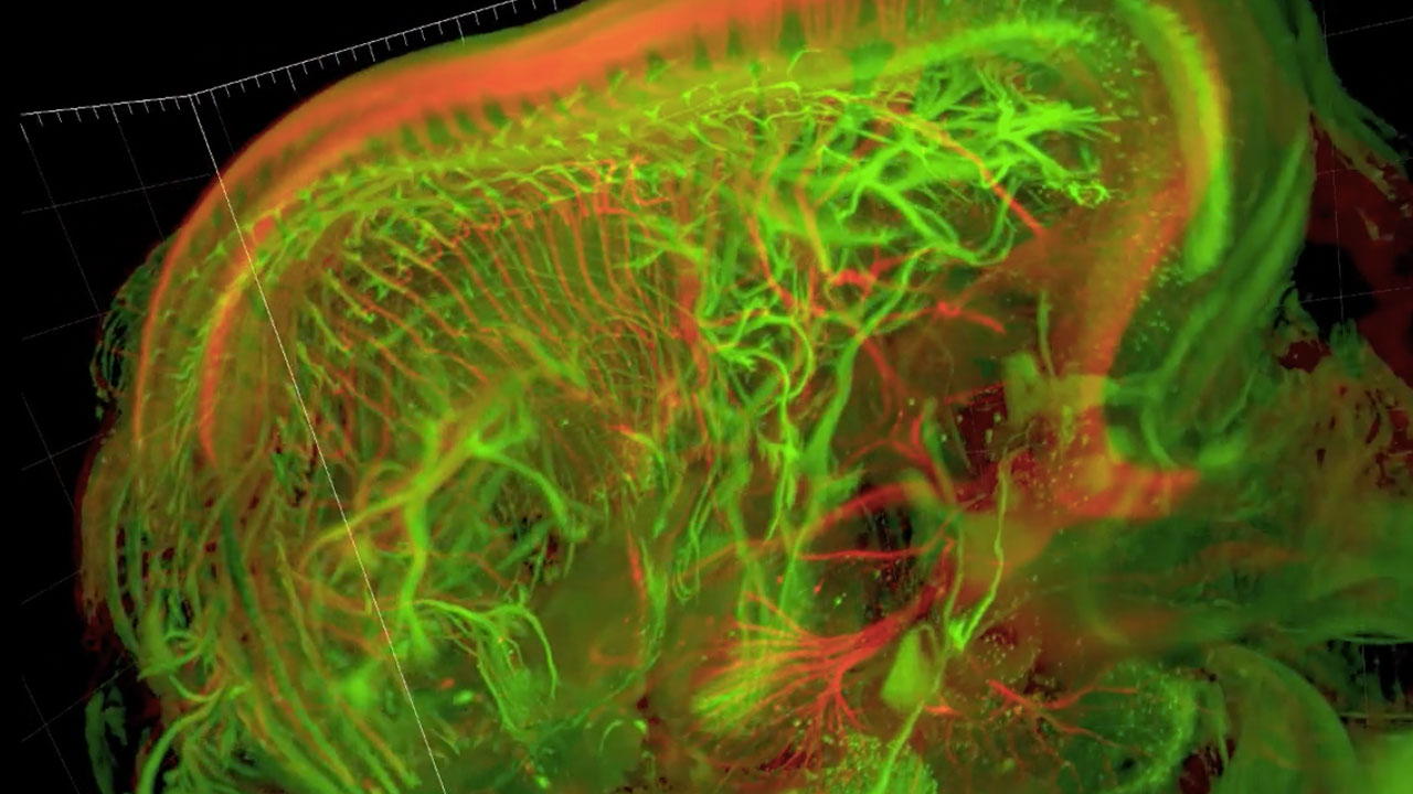 Sensory and motor nerves of the mouse embryo at 13.5 days
