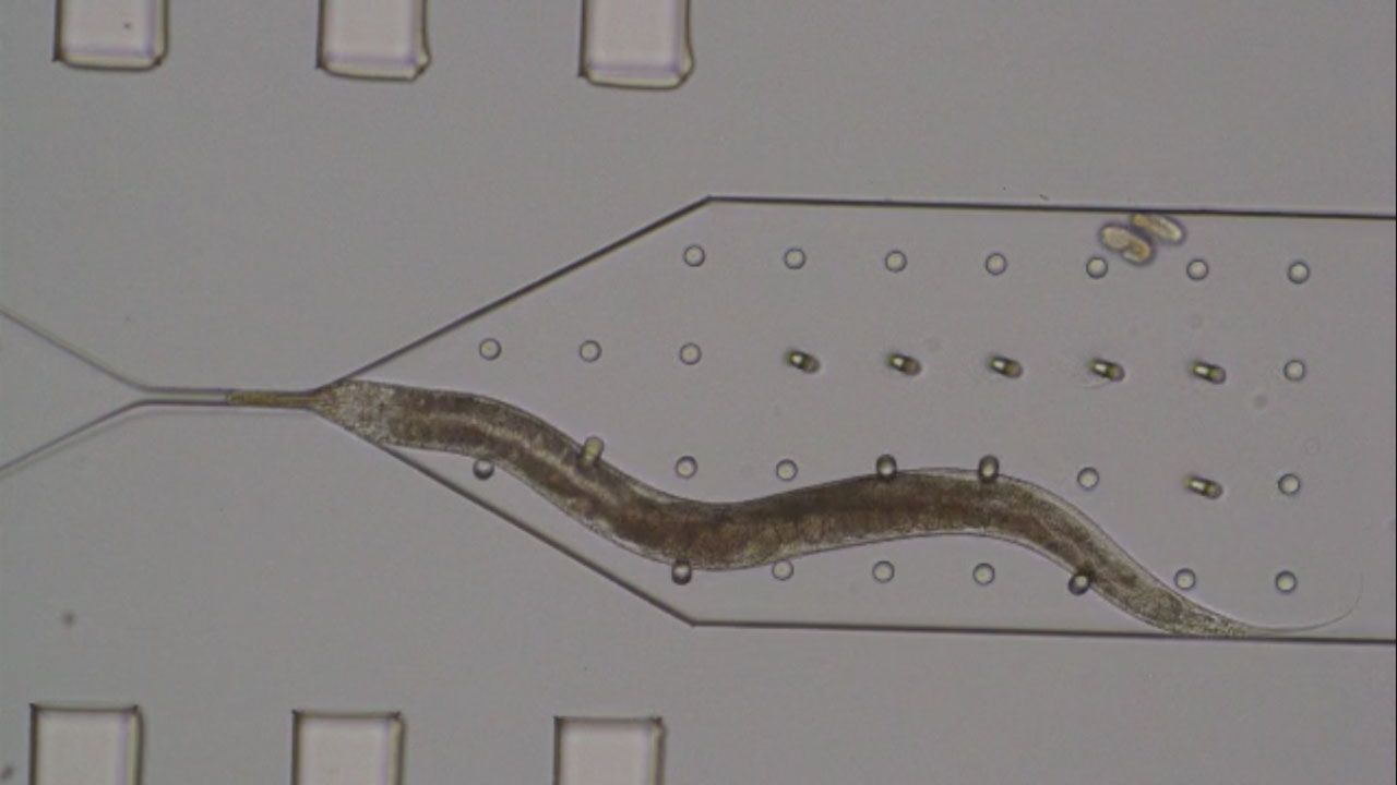 Mechanical bending of micropillars by C. elegans