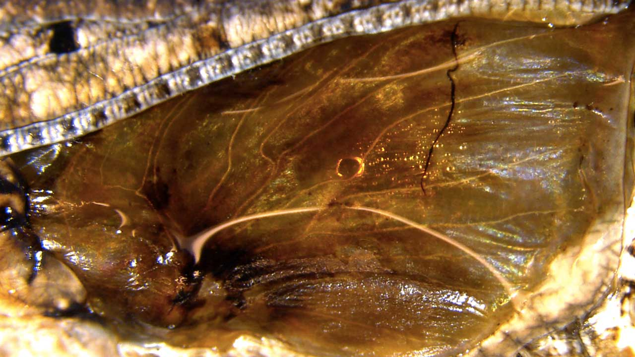 Close-Up of the Buckeye Butterfly Hindwing - 4 Days After Pupation