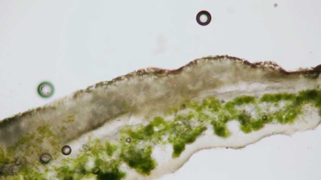 Lichen (Mosaic)