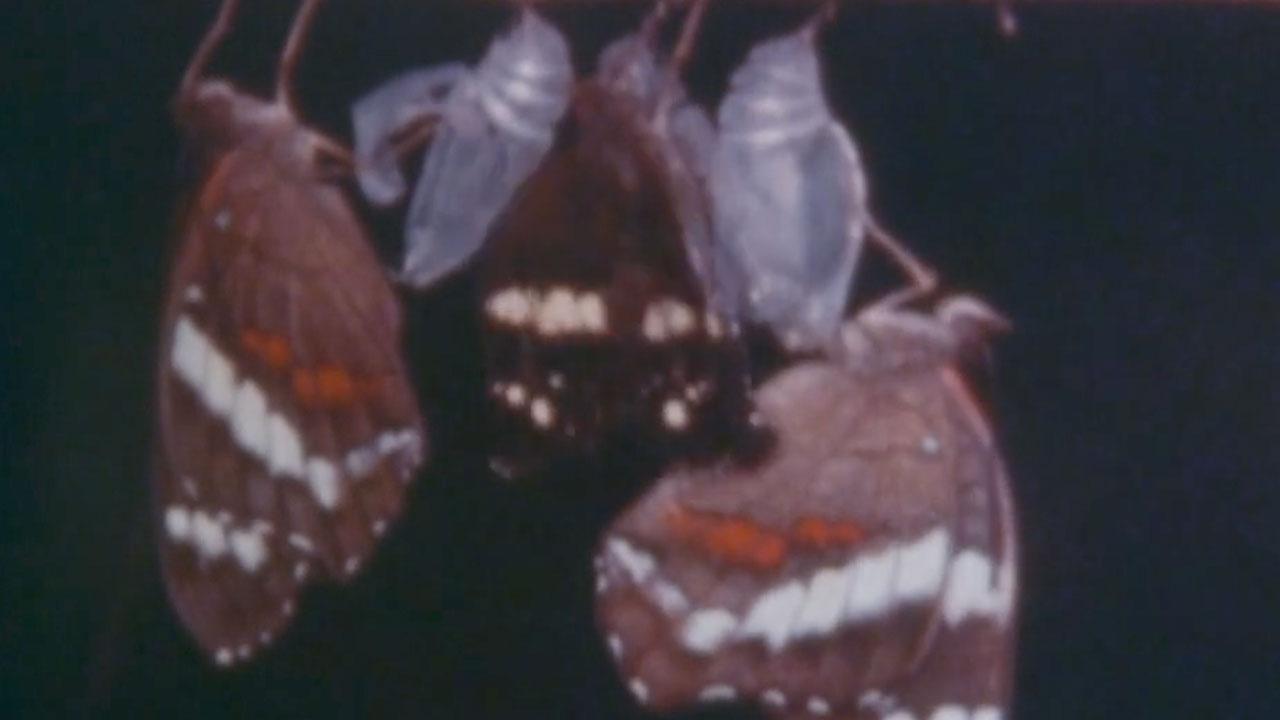 Rearing Anartia Butterflies