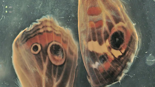 Butterfly Wing Development in Culture (Buckeye)