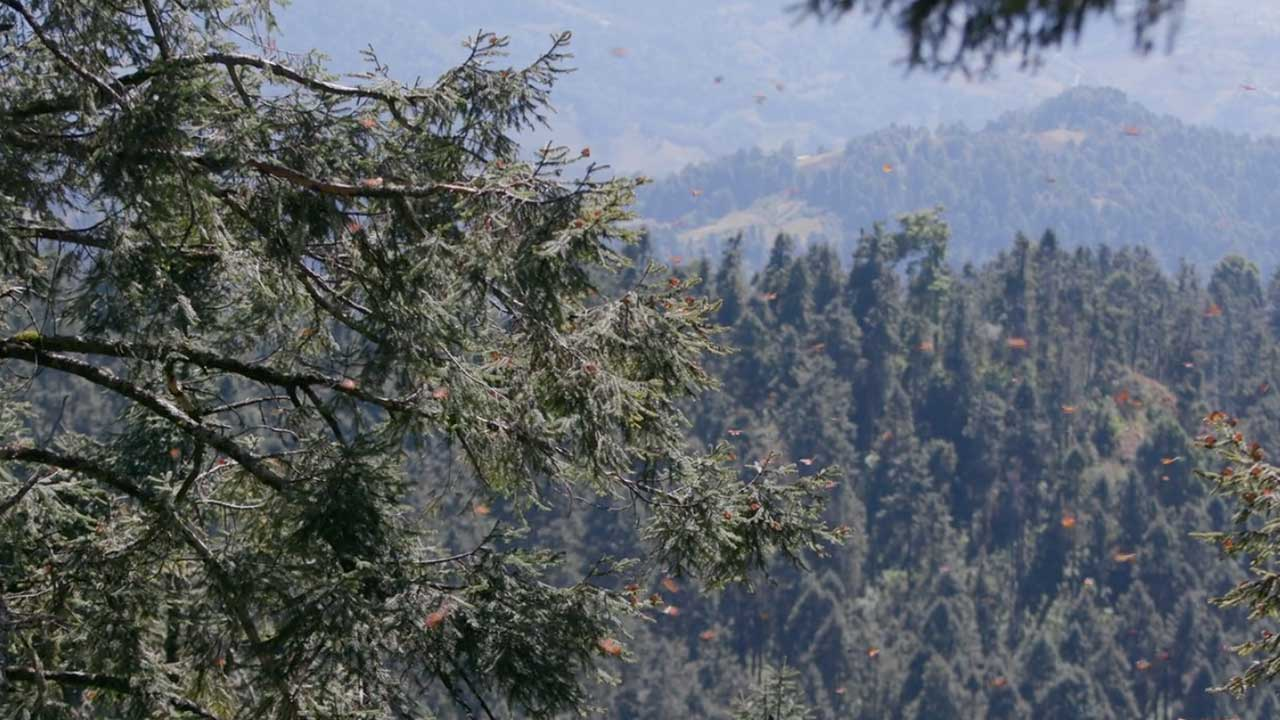 The Arrival of Monarch Butterflies in Sierra Chincua Butterfly Reserve