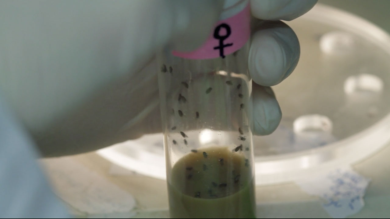 Transferring Female Fruit Flies into the Chamber of a Courtship Mating Wheel