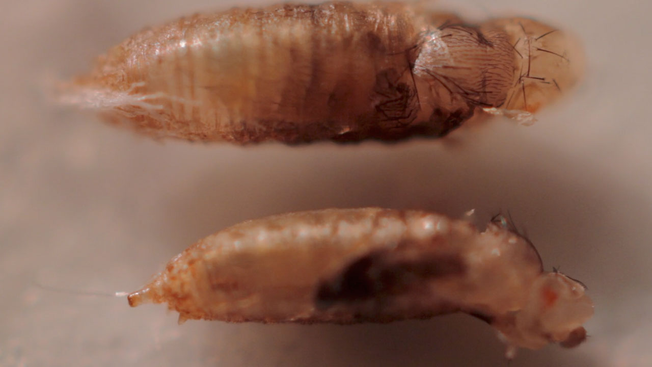 Male and Female Fruit Fly Pupa Eclosion