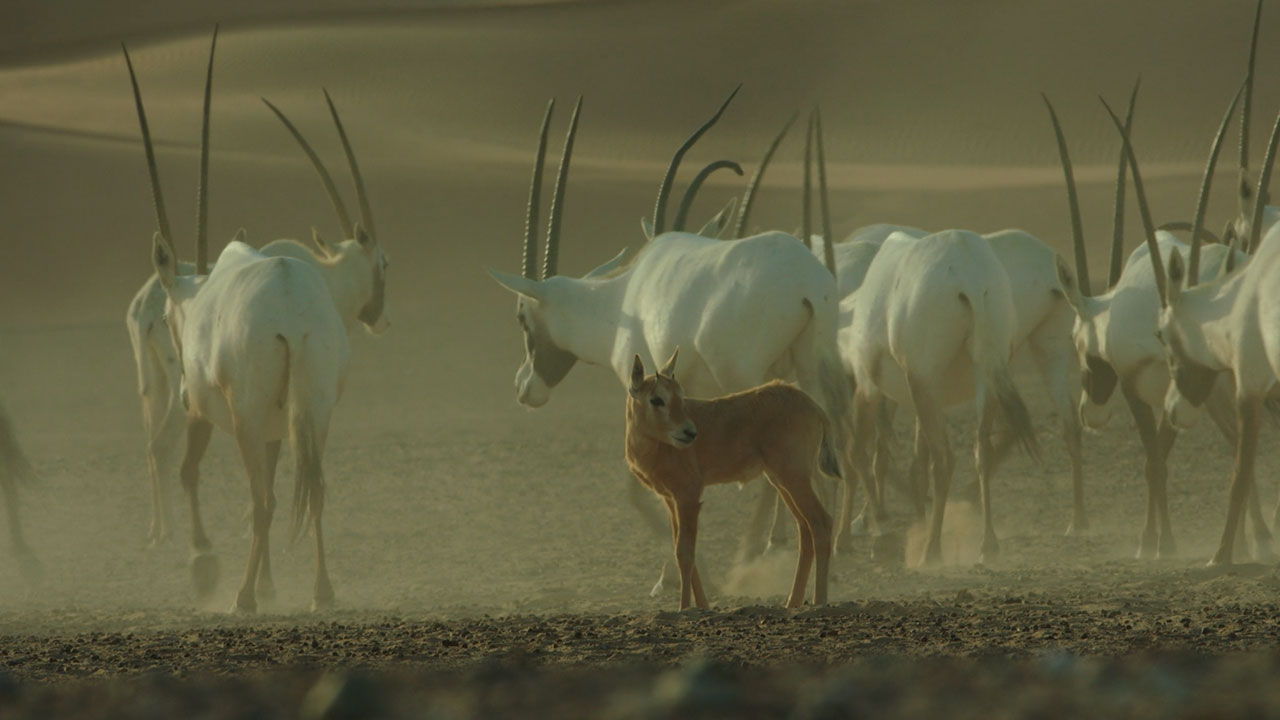 A Baby Oryx with Extended Family in Liwa Desert