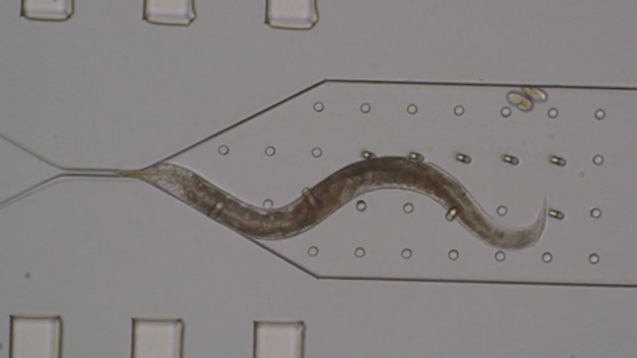 Mechanical Bending of micropillars by C. elegans