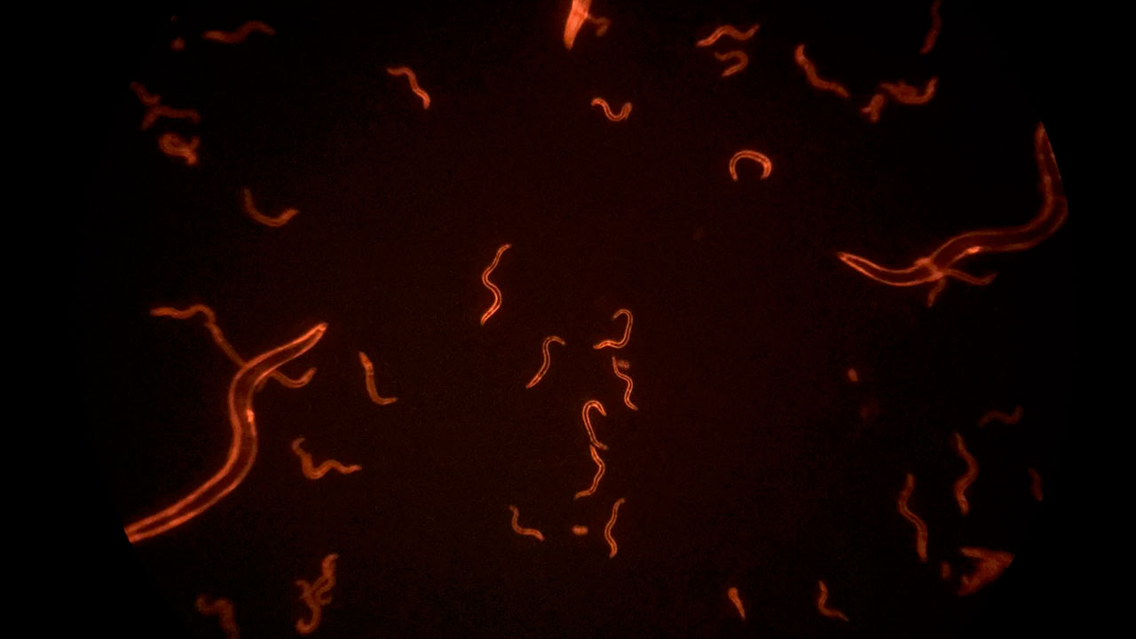 Tail Twirls of Red Fluorescent Worms