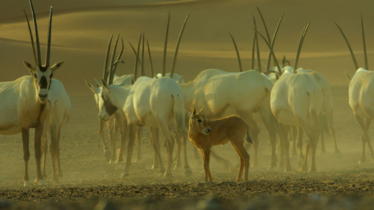 "The Hurls of the Arabian ""Unicorn""Oryx"