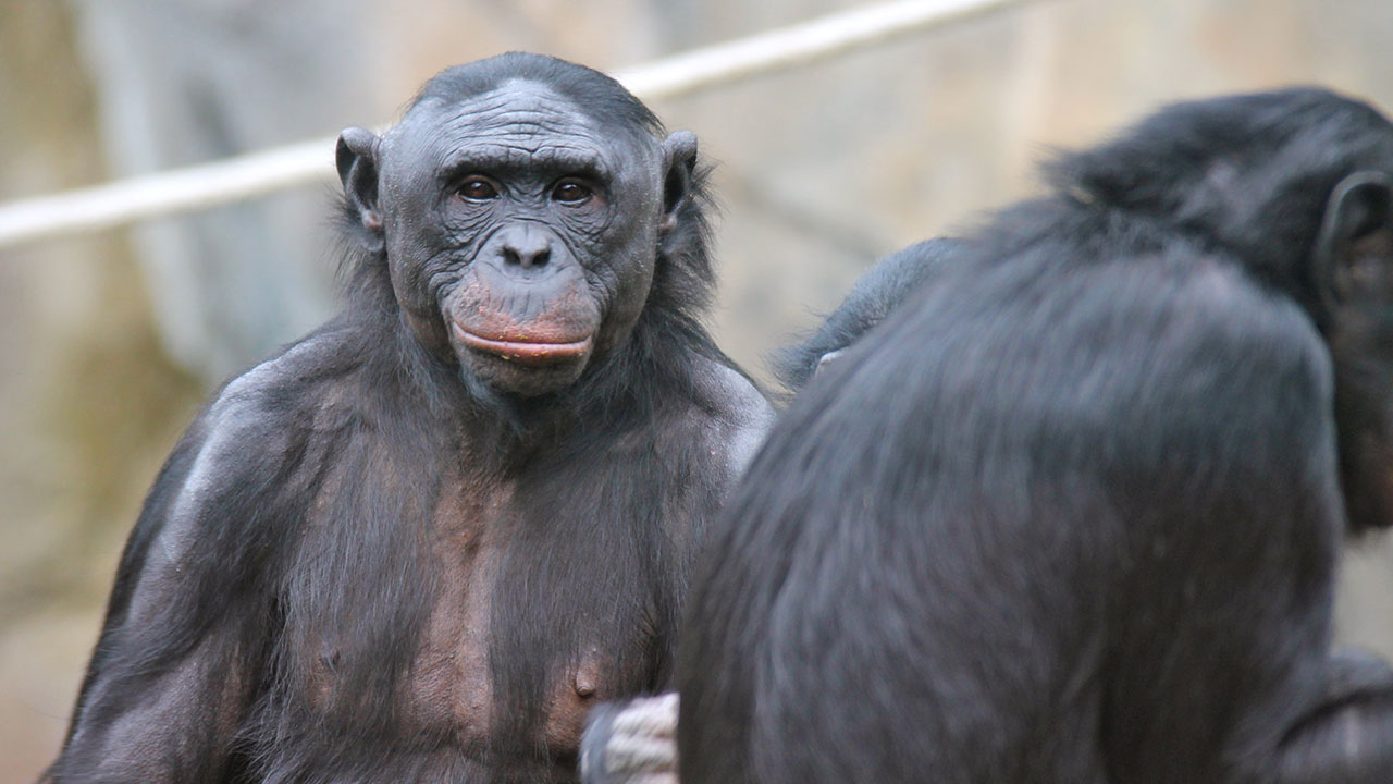Humans Meet Chimps, Chimps Become Human?