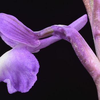 Anacamptis gr. morio
