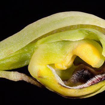 Ophrys gr. fusca