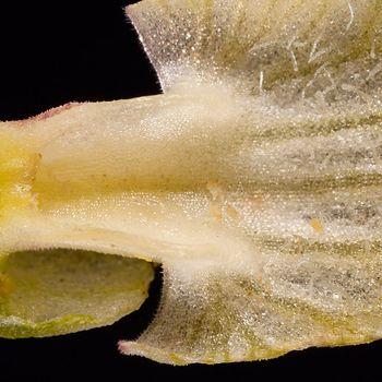 Serapias perez-chiscanoi