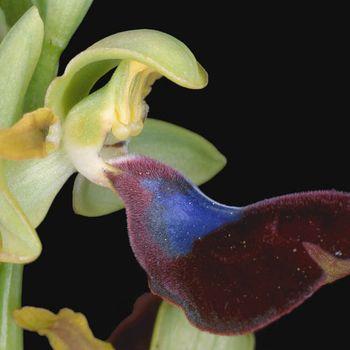 Ophrys atlantica