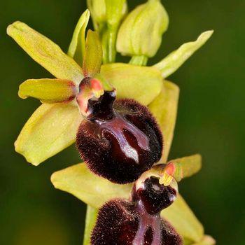 Ophrys gr. sphegodes