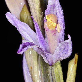 Limodorum trabutianum