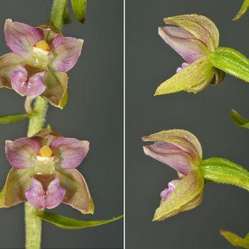 Epipactis helleborine subsp. helleborine