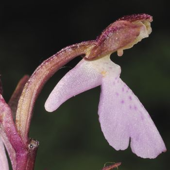 Androrchis gr. spitzelii