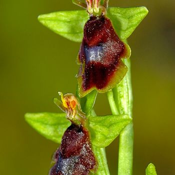 Ophrys subinsectifera