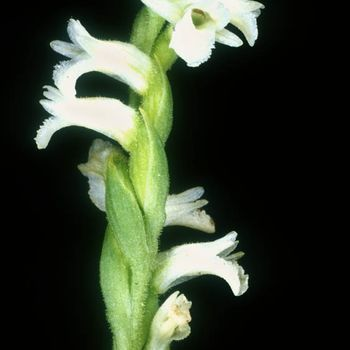 Spiranthes aestivalis