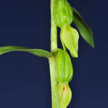 Epipactis fageticola