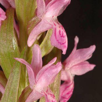 Dactylorhiza incarnata
