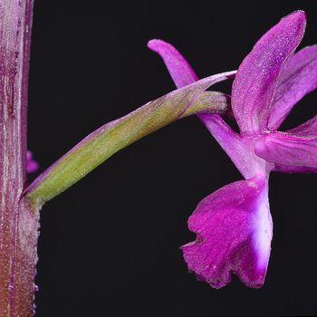 Anacamptis gr. laxiflora