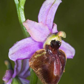 Ophrys aveyronensis
