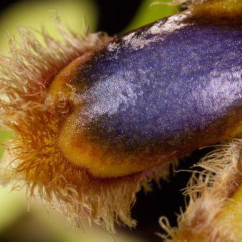Ophrys vernixia
