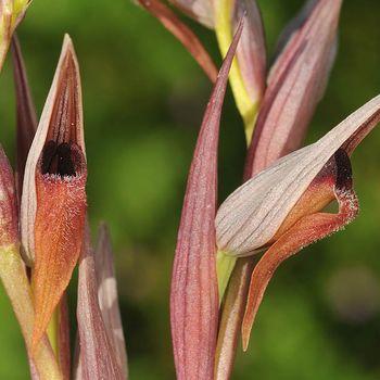 Serapias strictiflora