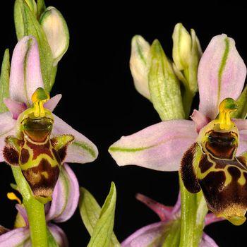 Ophrys gr. scolopax