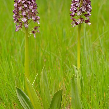 Orchis purpurea subsp. purpurea